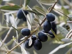 Olive nere sotto aceto e menta