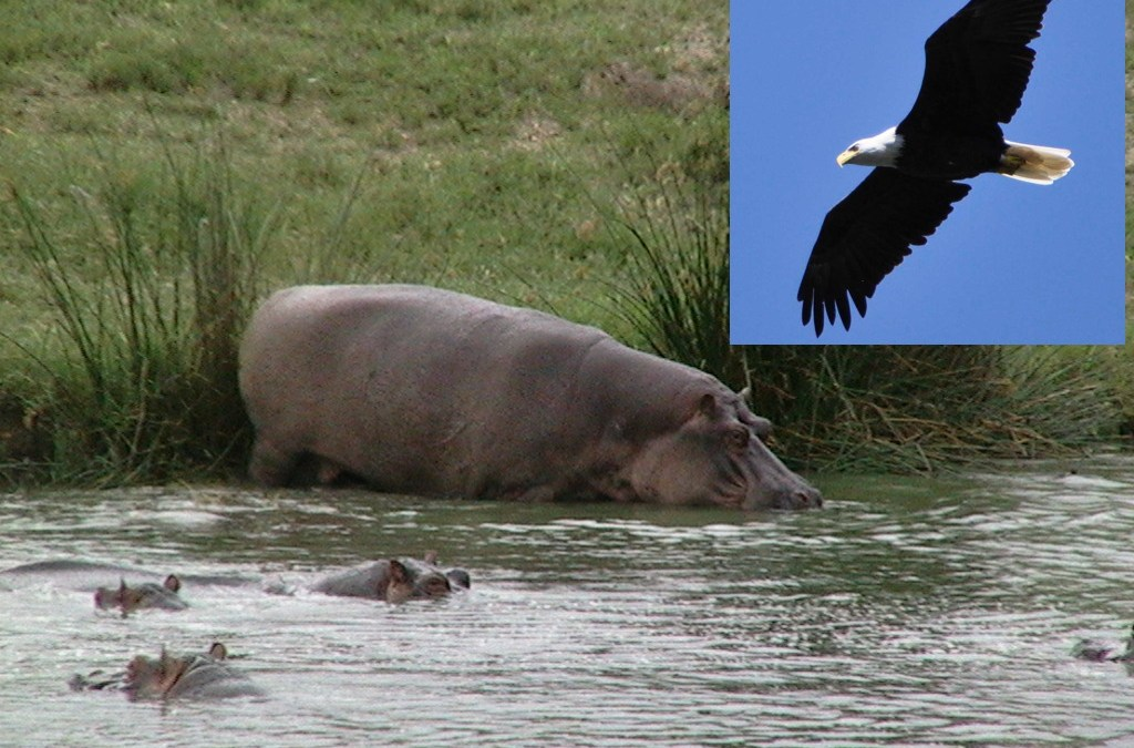 Eagles and Hippos