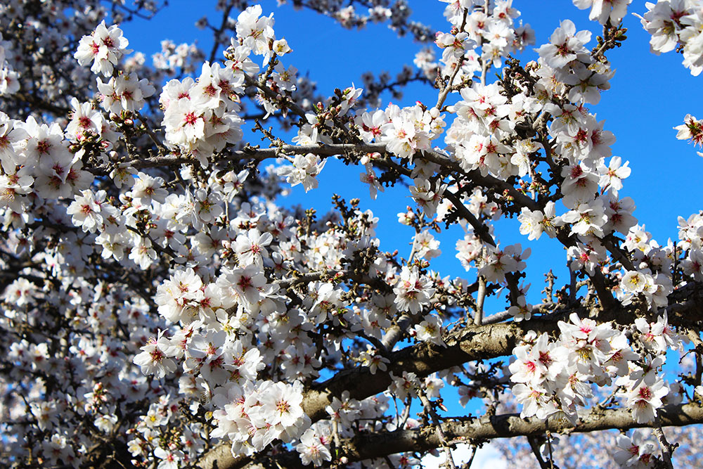 ALMOND BLOSSOMS 12