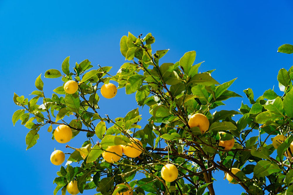 HOW TO PRESERVE LEMONS - lemon tree