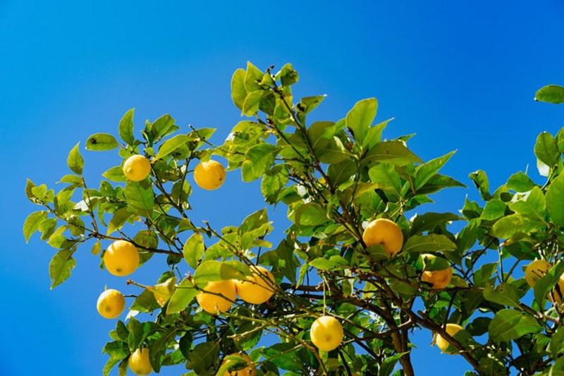 HOW TO PRESERVE LEMONS - lemon tree