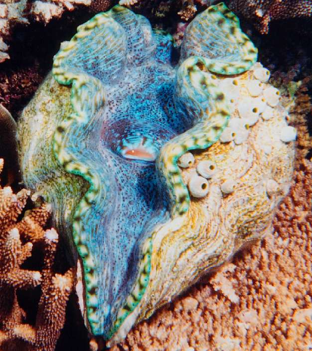 Heres Tridacna derasa, the smooth giant clam or southern giant clam.       The spherical items on the right hand side of its shell are sea squirts, enjoying a free ride!      The sea squirts arent contributing anything to the clam (except, perhaps, making it more photogenic), but the clams do live in a symbiotic relationship with algae, just as coral do, but in a more sophisticated way.      The giant clam has a system of channels which branches out to all parts of its mantle, and the algae live in these channels.   The clam can discard old algae if there are too many or if overheated, or retain all of them if it needs more.