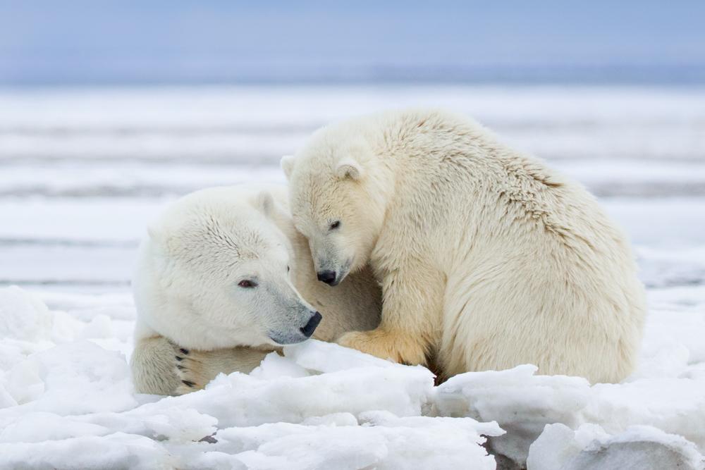 Polar bears in the Arctic National Wildlife Refuge, Alaska USA