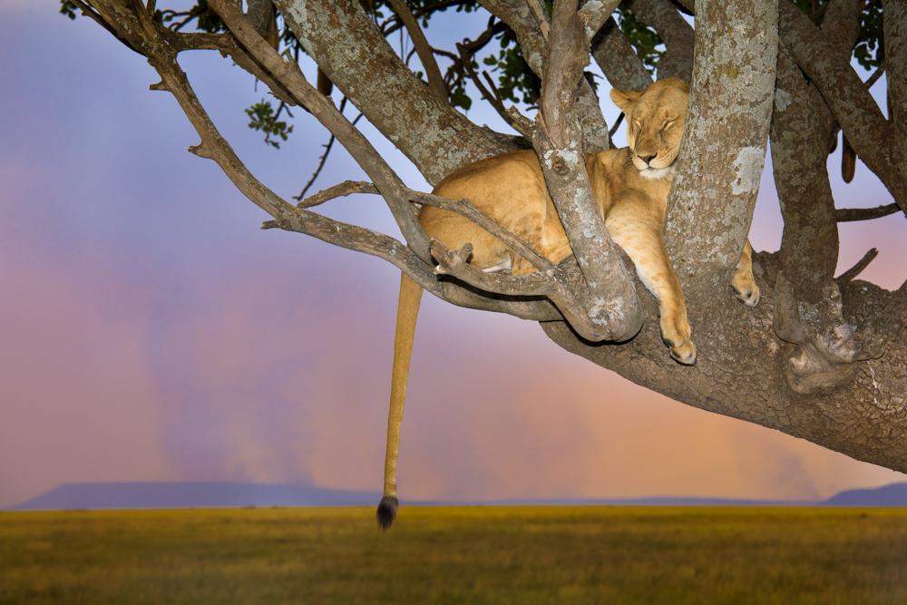 Sleeping lioness, Serengeti National Park, Tanzania