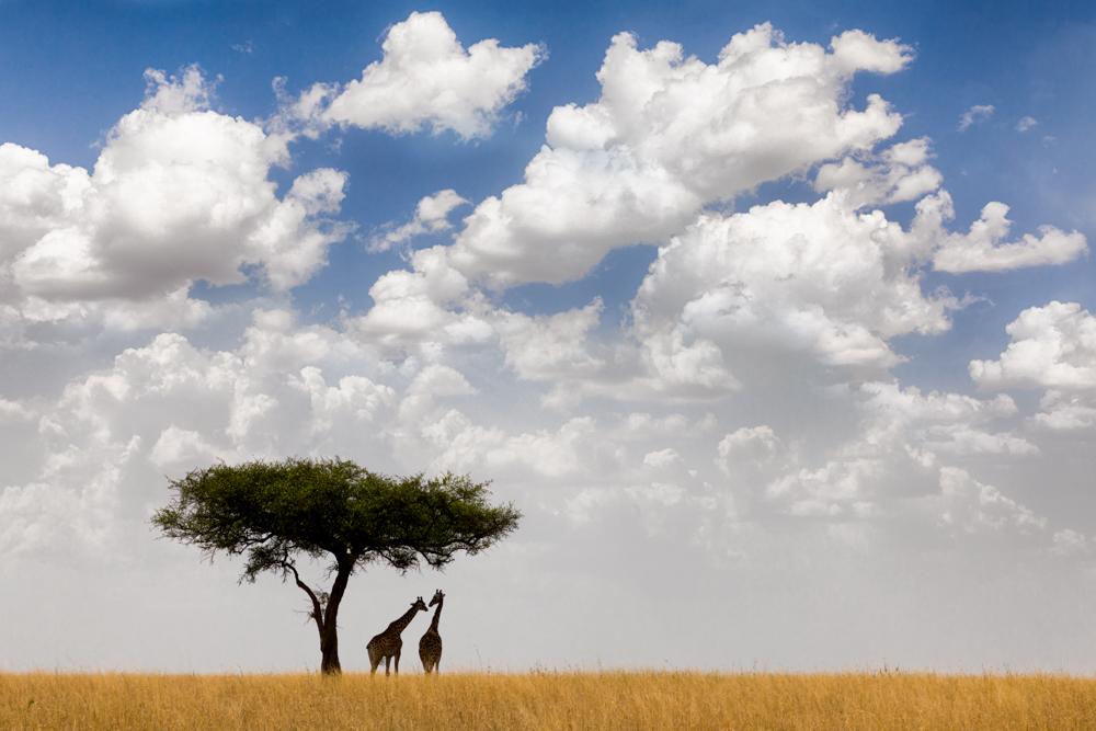 Giraffes taking shelter from sun, Serengeti National Park, Tanzania