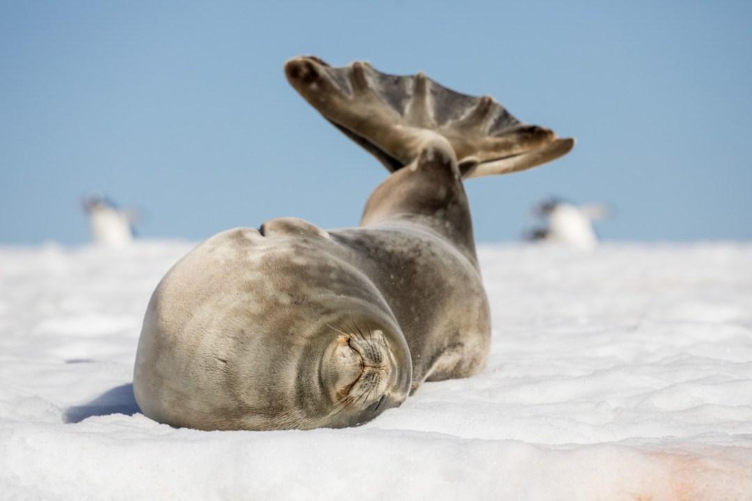 Weddell seal, Yankee Harbour, South Shetland Islands, Antartica