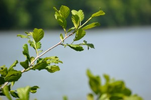 Leaves against lake