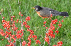 Robin on Winterberry