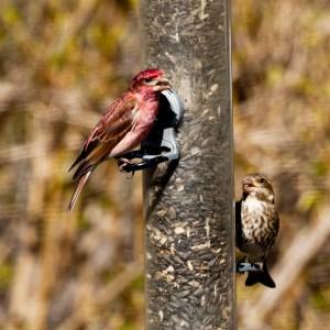 Purple Finch - Male and Female