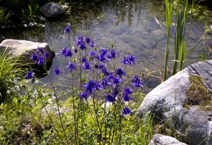 Columbines by the pond