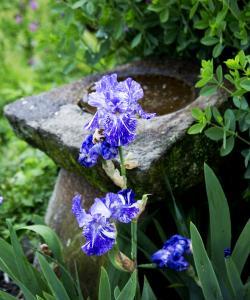 Iris with bird bath