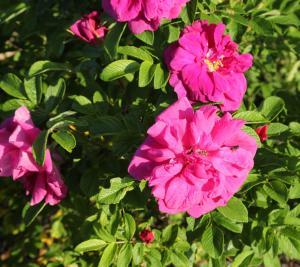 Rose - detail
