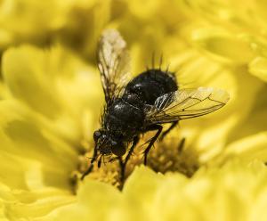 Bee on a yellow Mum