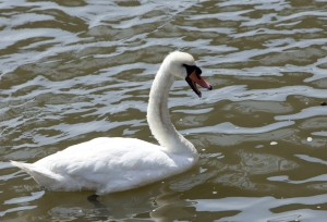 Swan with Beak Open