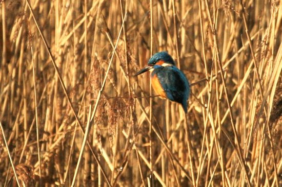 Kingfisher in the reedbeds
