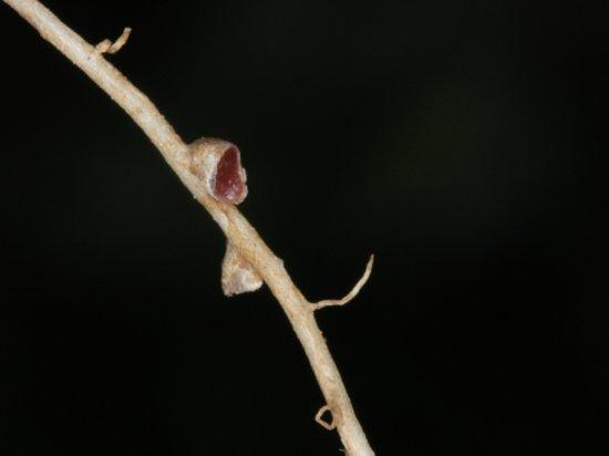 opened nitrogen fixing root nodule