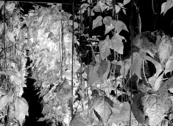 Greyscale version of the NDVI image, proportionally more IR is reflected from the beans growing at the back, which are in the compost extract treated soil.