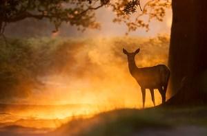 Richmond Park 30-07-12_0013-Red-Deer