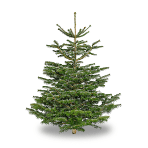 Premium Cut Nordman Christmas trees