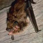 bat removal - big brown bat