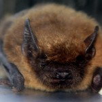 bat removal - little brown bat