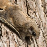 flying squirrel removal in Virginia