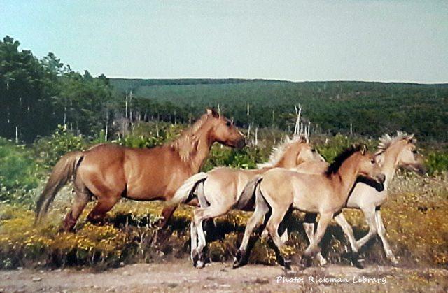 rickmanspanishmustangs.com, Blackjack Mountain, Gilbert Jones, GJ, Rickman Spanish Mustangs, Colonial Spanish Horse, Oklahoma Heritage Horses, SE Oklahoma, Pushmataha County, spirit of blackjack mountain