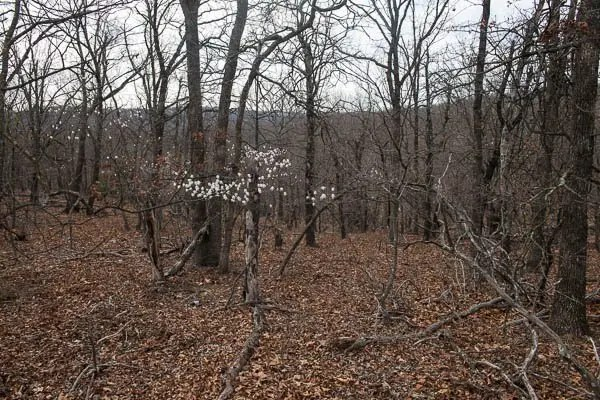 Flowering redbud trees in an empty forest always remind me of spring in Oklahoma.