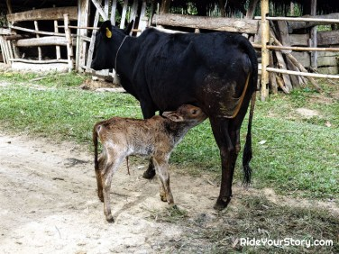 Witnessing a new born calf getting it's very first suckle