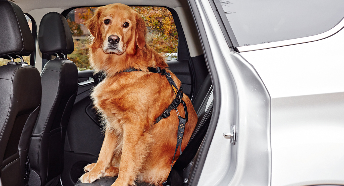 Outfit your dog in a reserve strap – dogs need to bend adult for highway trips too!