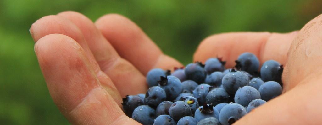 Foraging wild blueberries