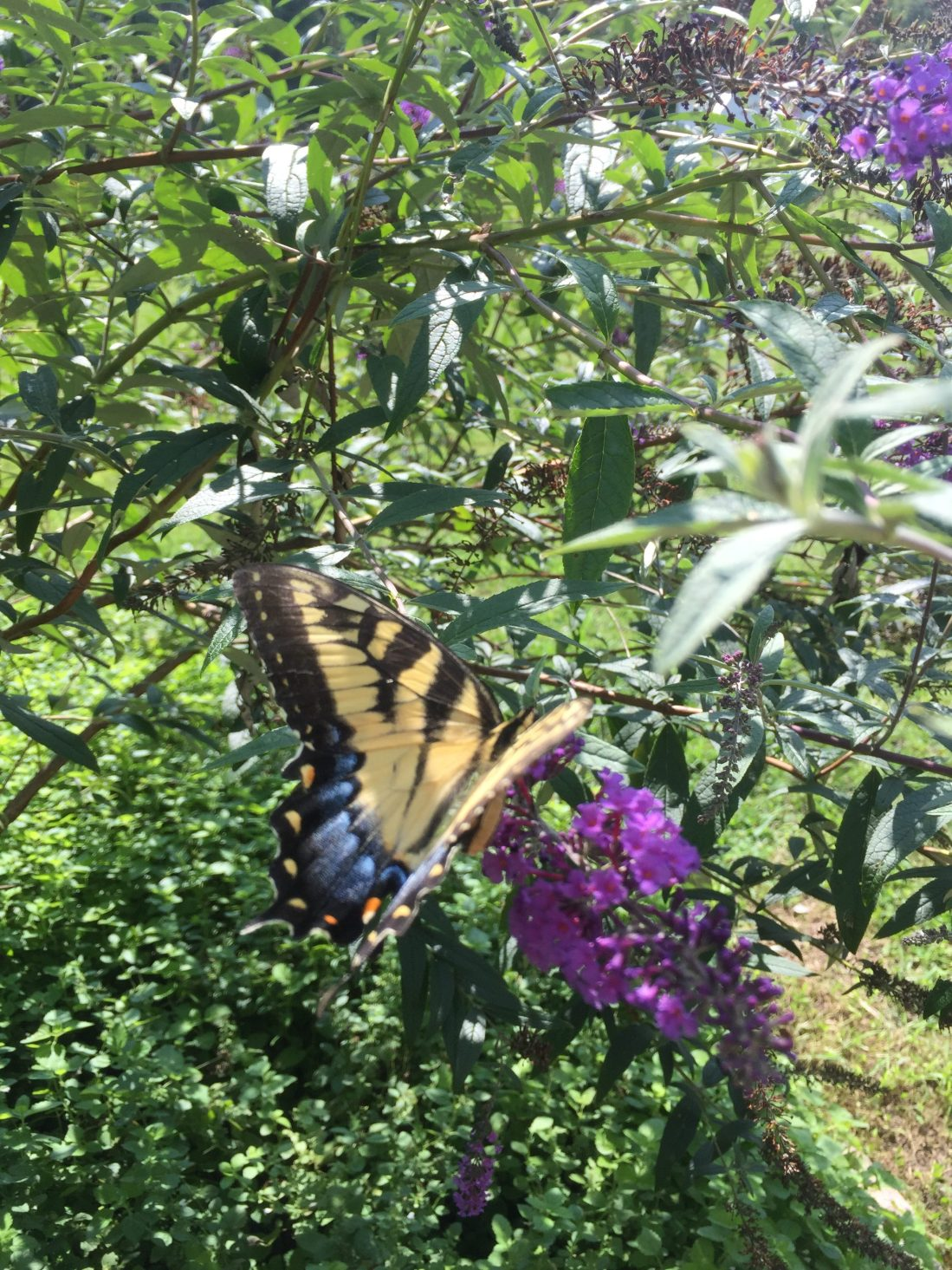 Butterfly bush and swallowtail