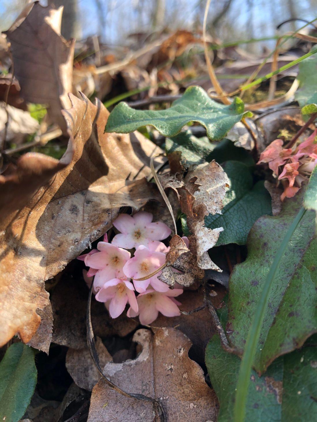 Pink Trailing Arbutus