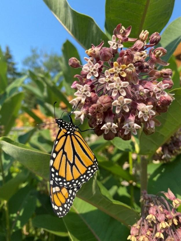 Monarch Butterfly enjoying a milkweed meal