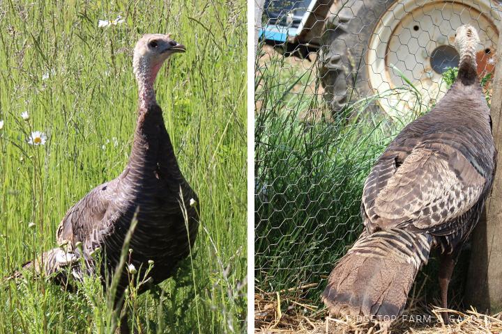Mama Turkey2