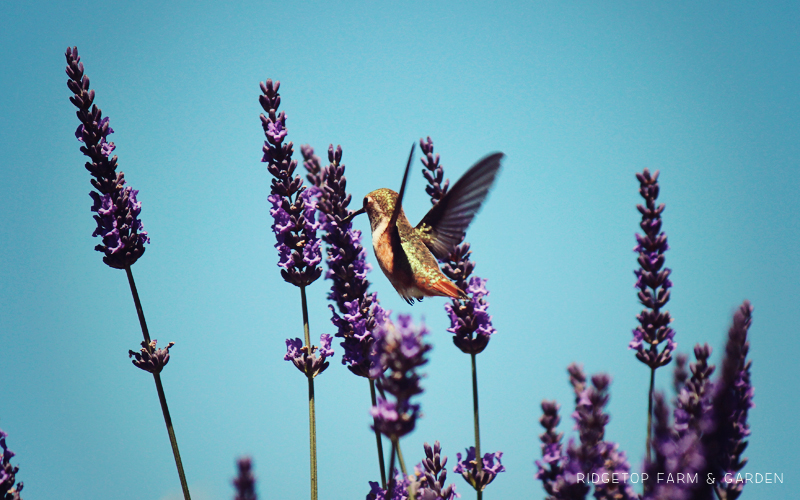 Hummingbird Lavender Slide