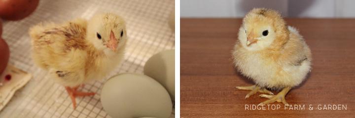 2013 Hatch 1 chicks