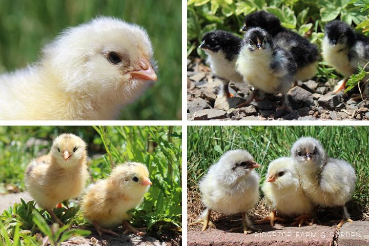 2014 Hatch 6 chicks