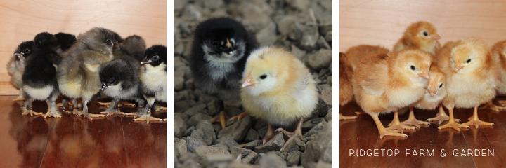 2014 Hatch4 chicks