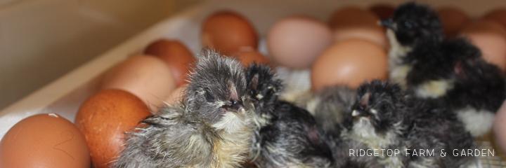 2014 Hatch4 hatching