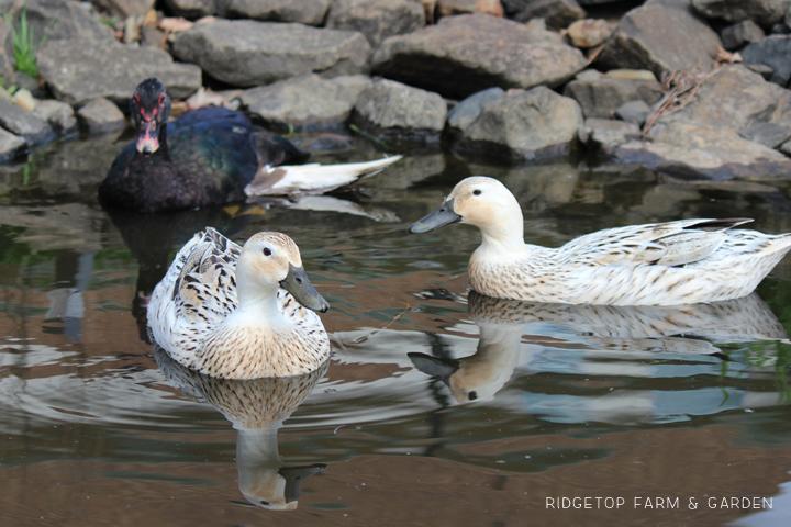 BIrd Village Pond Duck2