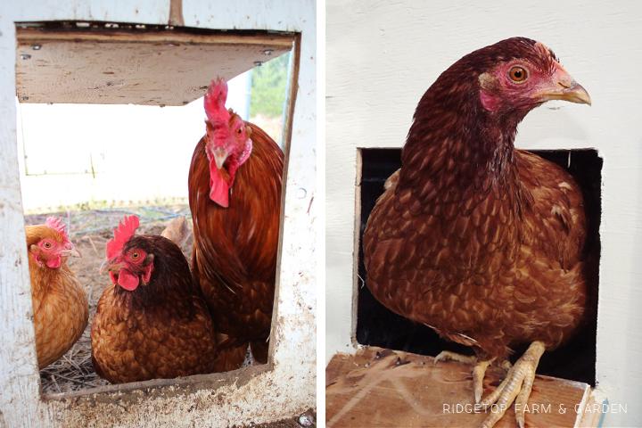 Chicken Tractor 3