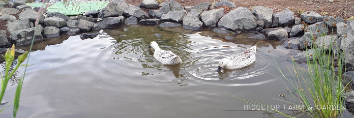 Water for Ducks 4C