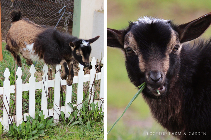 We got Nigerian Dwarf Goats Sven