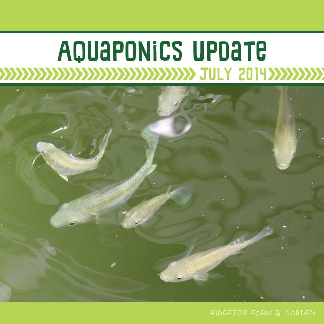 Ridgetop Farm & Garden | Aquaponics Update July 2014