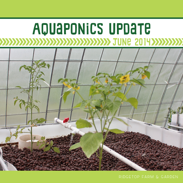 Ridgetop Farm & Garden | Aquaponics Update June 2014