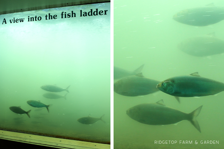 Ridgetop Farm & Garden | Bonneville Dam | Fish Ladder