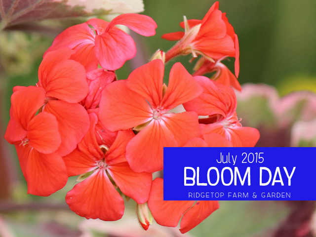 Ridgetop FArm & Garden | Bloom Day | July 2015