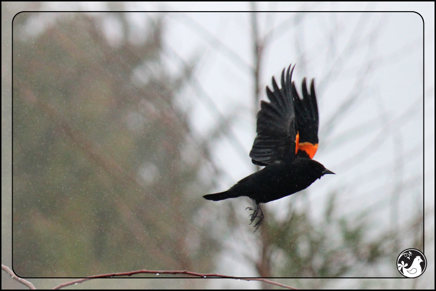 Ridgetop Farm and Garden | Great Backyard Bird Count | Red-winged Blackbird