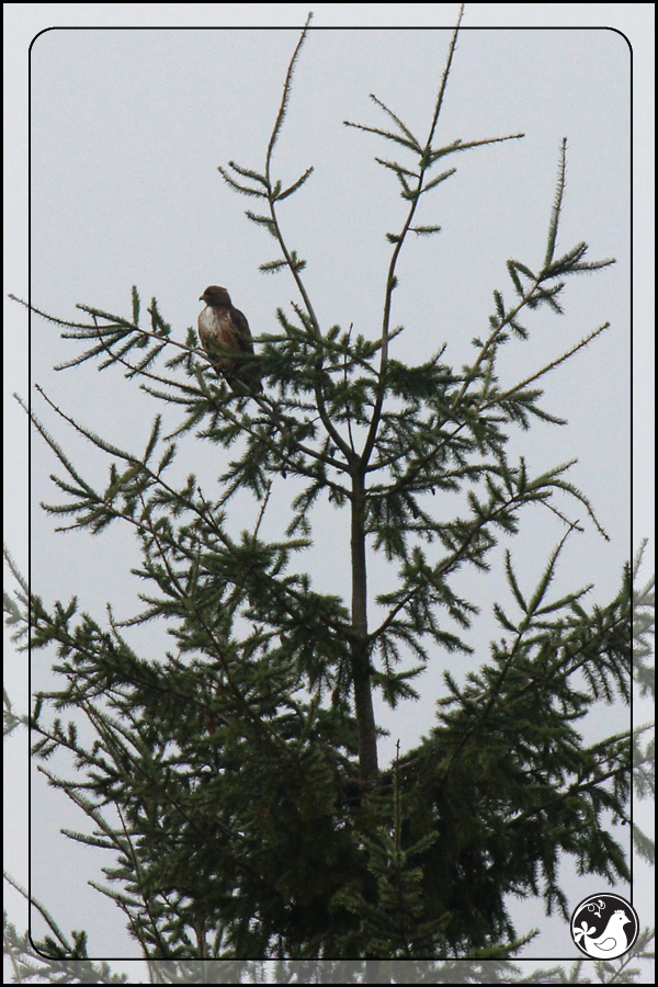 Ridgetop Farm and Garden | Great Backyard Bird Count | Red-tailed Hawk